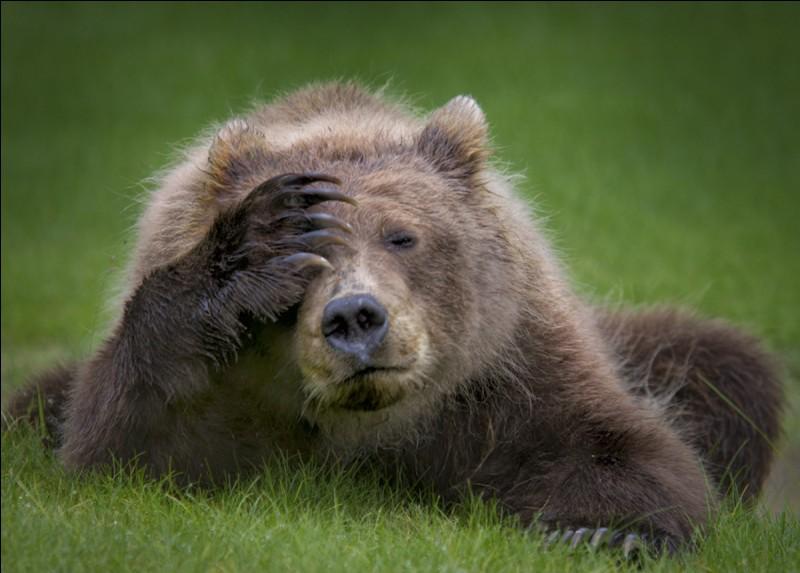 Cet ours brun, un bébé, a été photographié par Danielle D'Ermo, ce qui lui a valu le ''Comedy Wildlife Awards''. Il est assez expressif non, avec ses allures de mal de tête ? Allez, cela ira mieux bientôt. Nommez l'espèce d'ours dont il est ici question, espèce que seul l'ours blanc dépasse en masse ?