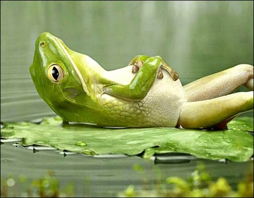 La légende : relaxing frog. Pour un Québécois, se faire traiter de ''French Frog'' est une insulte : pourtant l'historique se limite à une question de gastronomie, que ne partageait pas nos voisins, dans mon beau pays. Pourtant le chant de cet amphibien est synonyme de vie, son silence, signal d'alarme.Pour les protéger, il faut prendre soin de l'environnement : nommez la chanceuse au repos :