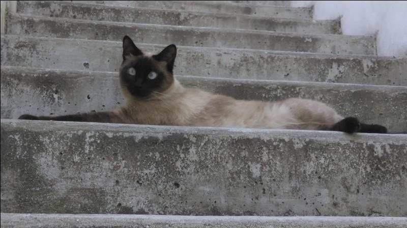 Quelle nouvelle race de chat, créée en Amérique du Nord et au Canada, en croisant le Siamois avec le Burmese fit son apparition dans les années 30 ?