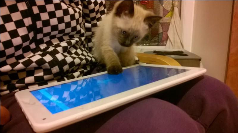 Le Siamois est une race de chat originaire :