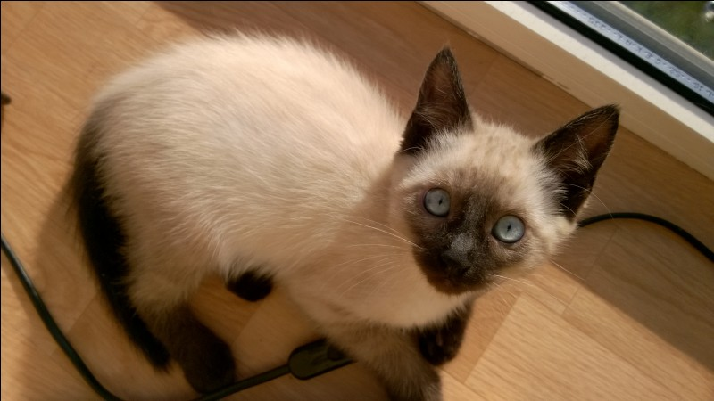 Le chat Siamois fut en fait ramené pour la première fois d'Asie vers l'Europe via la valise diplomatique, mais vers quel pays ?