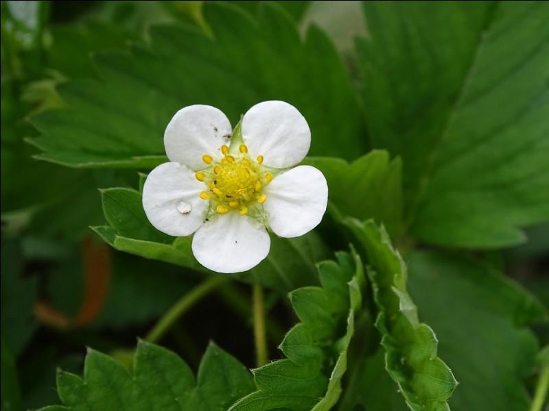 Quelle est cette jolie petite fleur ?