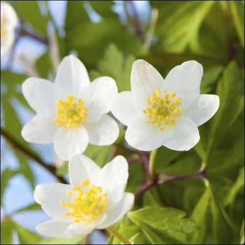 Que sont ces fleurs qui pourront égayer vos terrasses grâce à leur floraison précoce ?