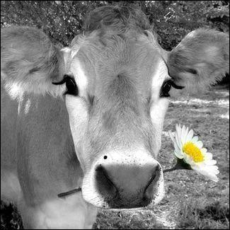 """Dans le film """"La Vache"""" de Mohamed Hamidi, avec Fatsah Bouyahmed, Lambert Wilson, Jamel Debbouze, quel est le prénom de cette vache ?"""
