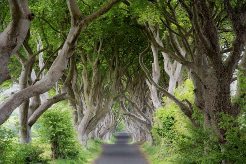 J'ai trouvé cette magnifique photo dans Nikpal Getty Images. L'œuvre est intitulée ''The Dark Hedges''. Elle a été prise dans le County Antrim ; elle est répertoriée comme une très ''Famous Place''.Vous devez trouver le pays de la photo.