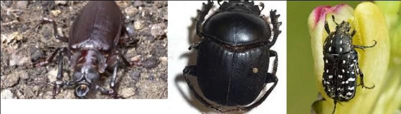 Quel est le nom du plus gros insecte coléoptère vivant sur notre planète ?