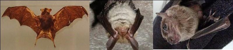 Maintenant, quel mammifère, appelé aussi ''chauve-souris bourdon'' est le plus petit à vivre sur Terre ?