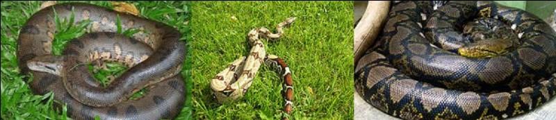Sur la Terre, quel serpent est le plus grand avec une longueur pouvant atteindre 9,80 m pour un poids de 140 kg ?