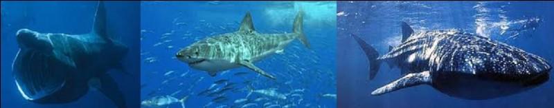 Pouvant exceptionnellement atteindre 20 m de long, pour une masse de 34 tonnes, quel poisson est le plus grand à vivre dans nos mers et océans ?
