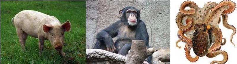 De ces trois animaux, hormis l'homme, lequel est le plus intelligent au monde ?
