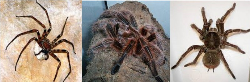 Quelle araignée est la plus grande vivante sur notre planète ?