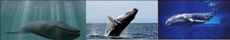 Même question mais au niveau aquatique. Quel mammifère marin pèse le plus lourd ?