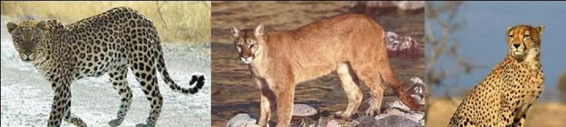 Quel mammifère quadrupède est considéré comme l'animal qui court le plus vite au monde ?