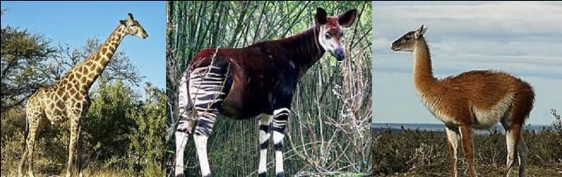 Quel mammifère est le plus grand en hauteur ?