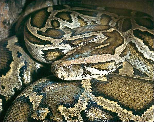 De quoi se nourrit principalement le python ?