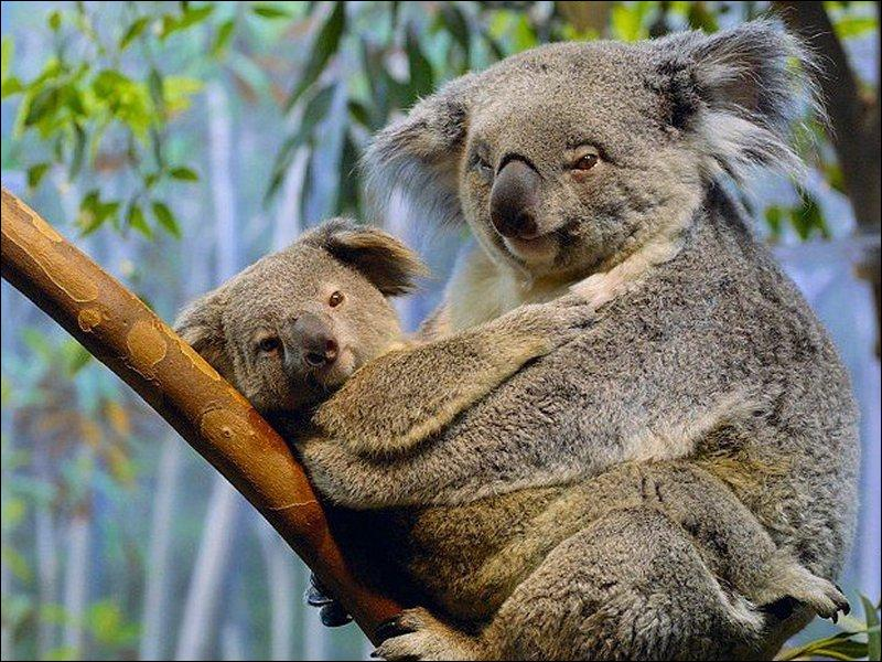 Comment la maman koala nourrit son petit à la naissance ?