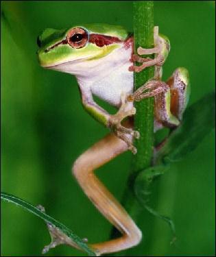 Qu'est-ce qui distingue les rainettes des grenouilles ?