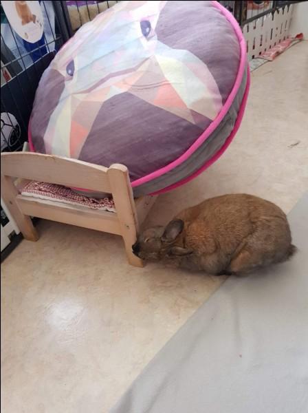 Pourquoi votre lapin frotte-t-il son menton sur tous les objets qui l'entourent ?