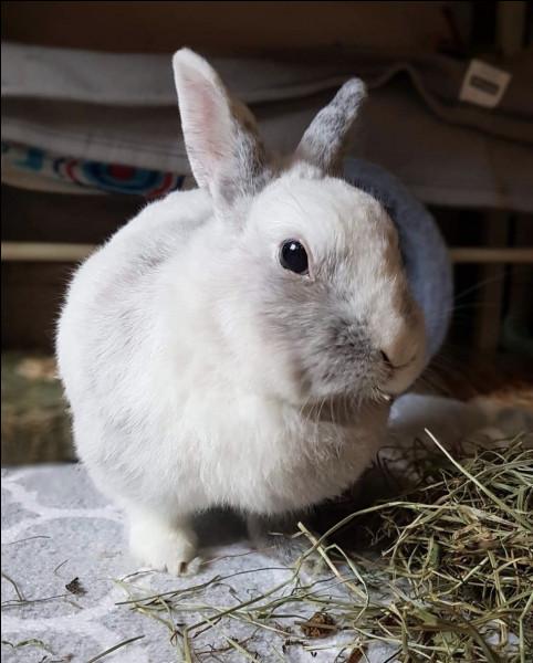 Quelle est la température corporelle d'un lapin ?