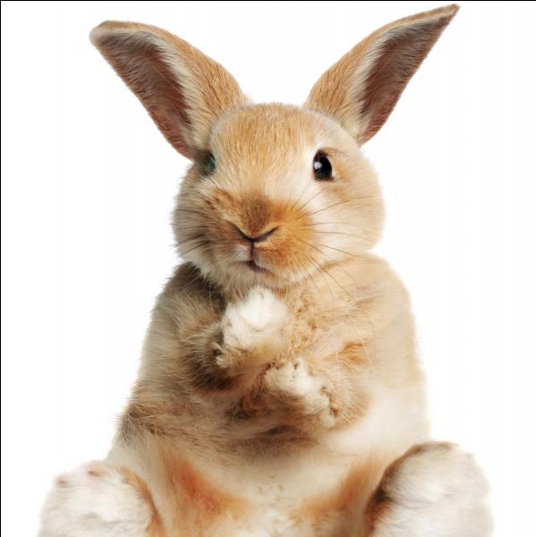 Combien de cellules olfactives possède le lapin ?