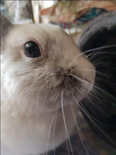 À quoi servent les vibrisses du lapin ?