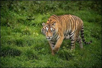 Combien y a-t-il de tigres en liberté ?