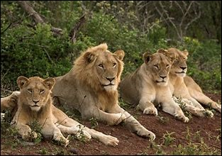 De quelle façon les lions chassent-ils ?