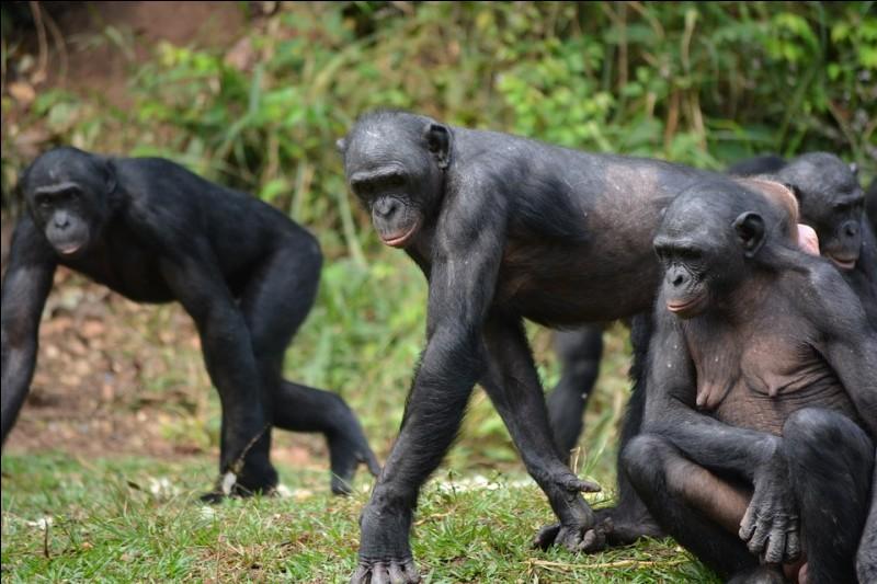 Quel singe est le plus proche de l'homme ?