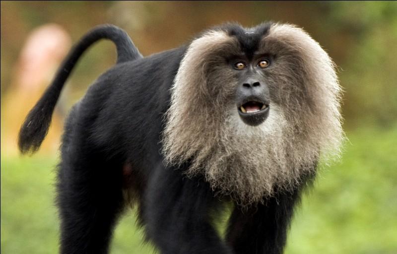 Quel est le nom de ce singe ?