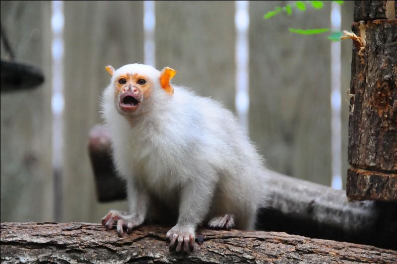 Quel est le nom de ce singe blanc ?