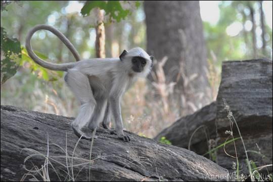 Lequel de ces singes ne vit pas en Amérique du Sud ?