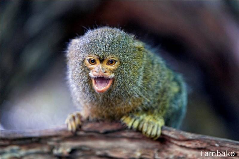 Sur quel continent trouve-t-on le ouistiti pygmée ?
