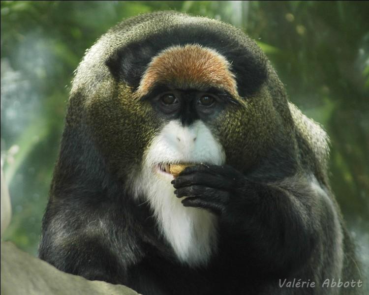 A votre avis, comment s'appelle ce primate ?