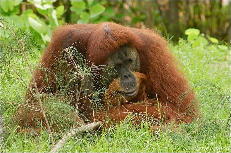 L'orang-outan est de la même famille que le gorille ou le chimpanzé.