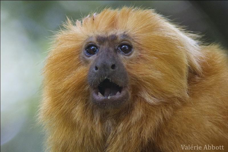 Ce singe est un tamarin ! Oui, mais lequel ?