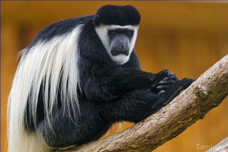 Connaissez-vous le nom de ce singe ?