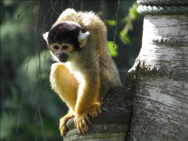 Quel est l'autre nom du singe écureuil ?