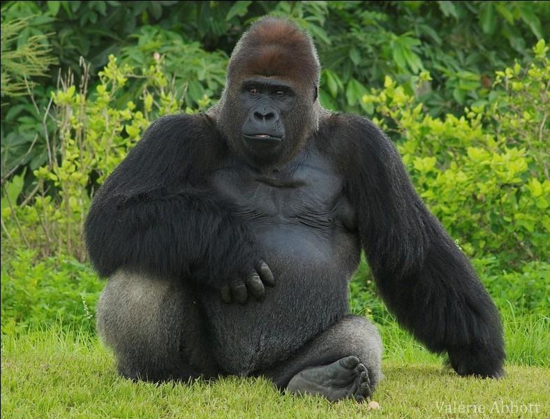 Quel film ne parle pas de gorilles ?