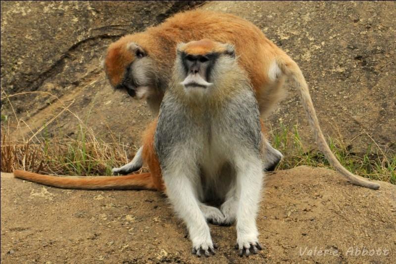 Connaissez-vous vraiment les singes ?