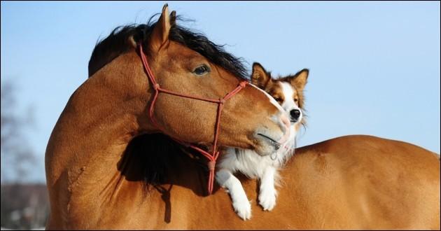 Quelle race de cheval a une robe isabelle ?