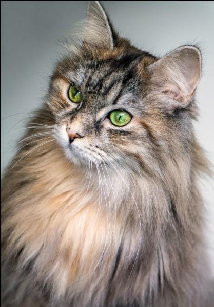 Quelle est la race des chats de Norvège ?
