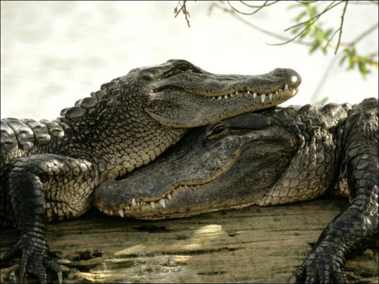 """""""Ah ! les crocodiles"""" est une comptine racontant l'histoire d'un crocodile partant à la guerre aux éléphants."""