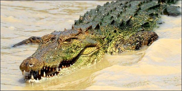 Le crocodile est un reptile ovipare.