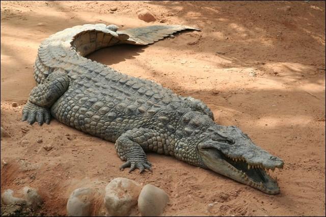 Les crocodiles du Nil ne sont pas dangereux pour l'homme.