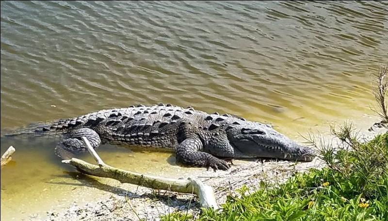 Le crocodile marin et le crocodile du Nil peuvent atteindre 7 mètres de long.