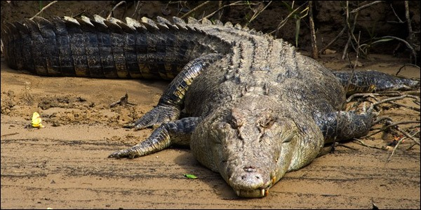 L'espérance de vie d'un crocodile peut atteindre 100 ans.
