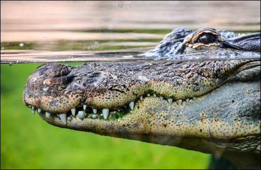 """""""Verser des larmes de crocodile"""" signifie être pris d'une profonde tristesse."""