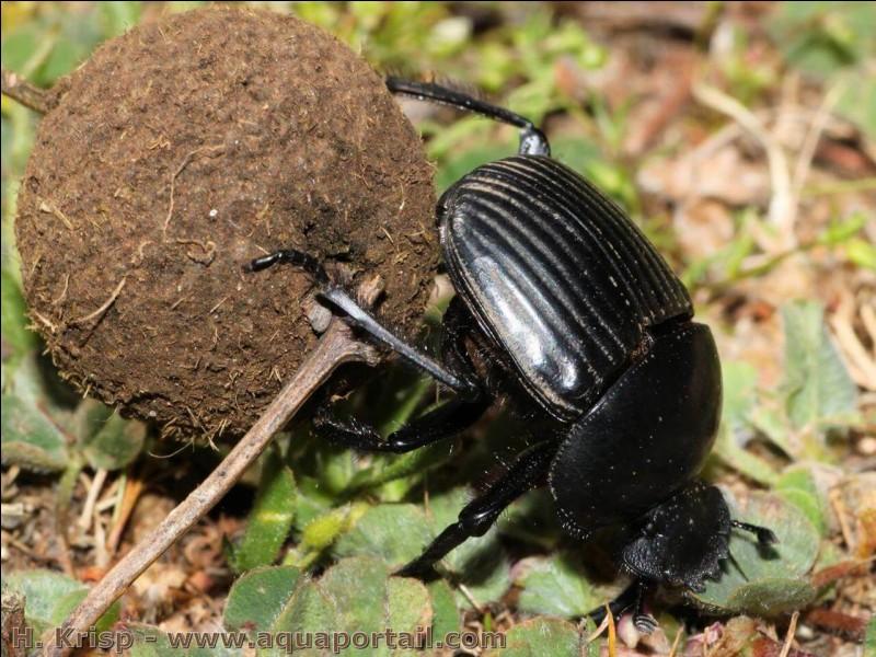 Parmi ces insectes, lequel n'est pas coprophage (= qui mange les excréments des autres animaux) ?