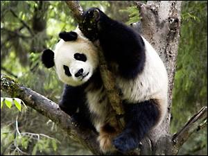 Combien de temps peut vivre un panda ?