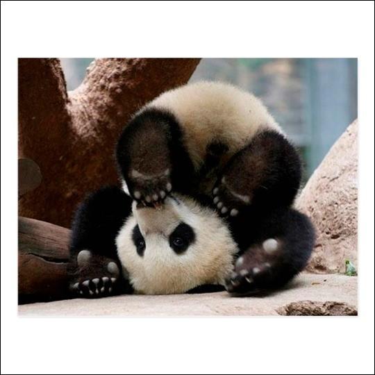 Combien mesure le bébé panda à la naissance ?